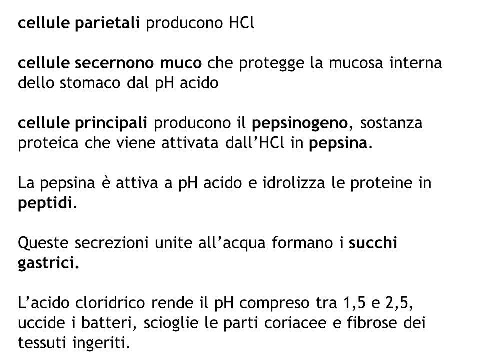 cellule parietali producono HCl