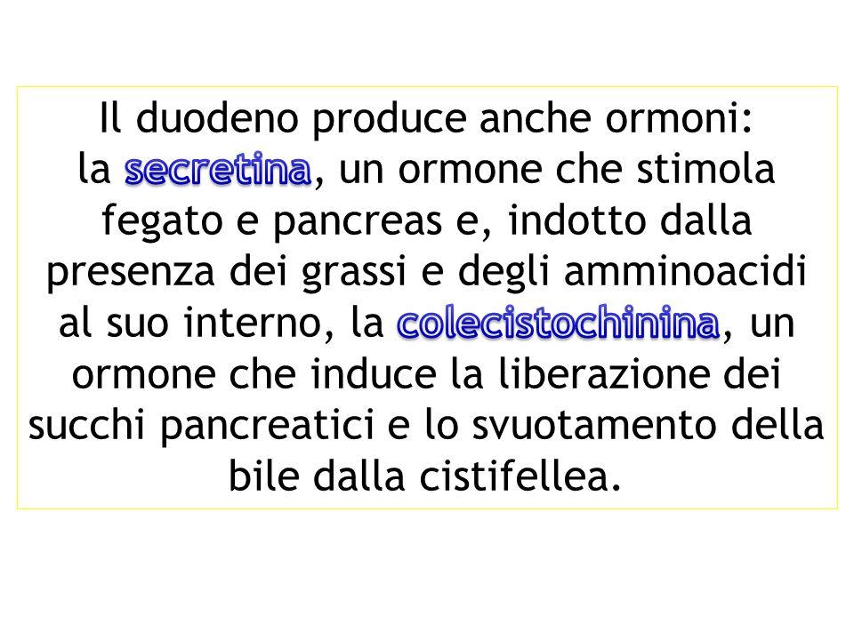 Il duodeno produce anche ormoni: