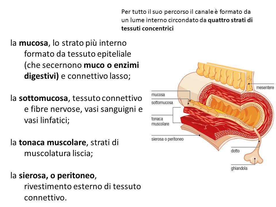la tonaca muscolare, strati di muscolatura liscia;