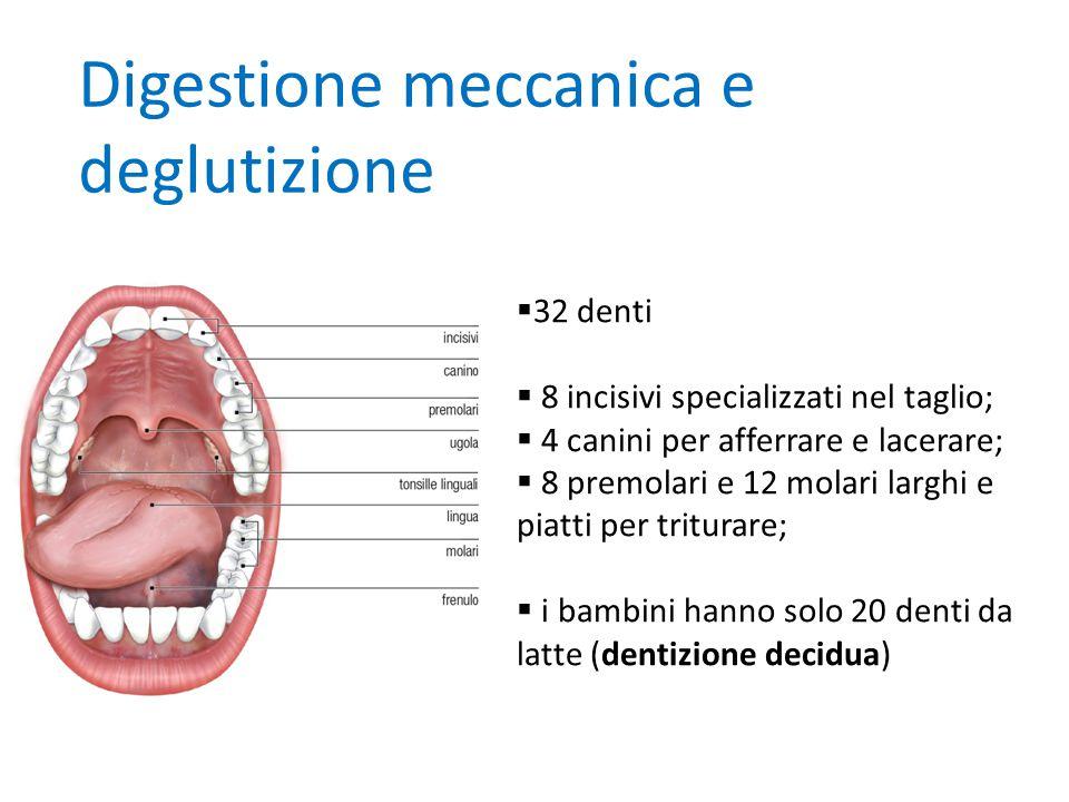 Digestione meccanica e deglutizione