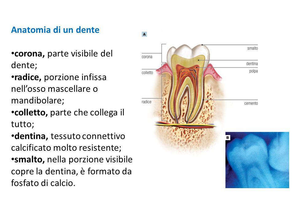 corona, parte visibile del dente;