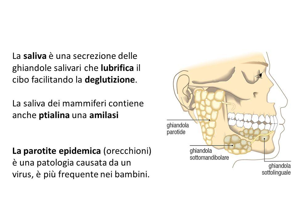 La saliva dei mammiferi contiene anche ptialina una amilasi