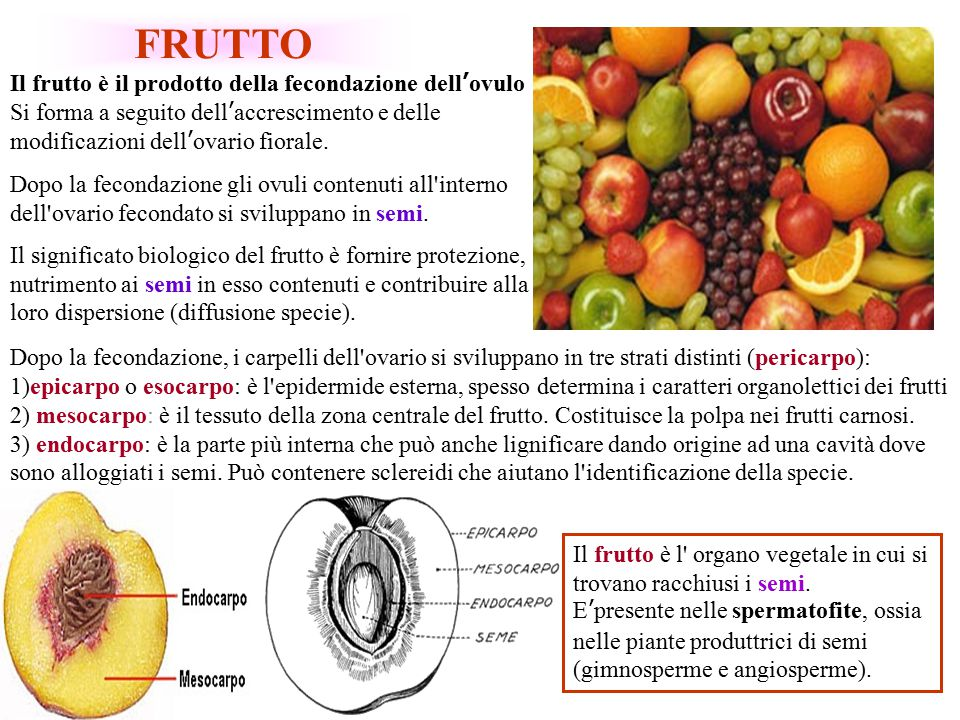 FRUTTO Il frutto è il prodotto della fecondazione dell'ovulo