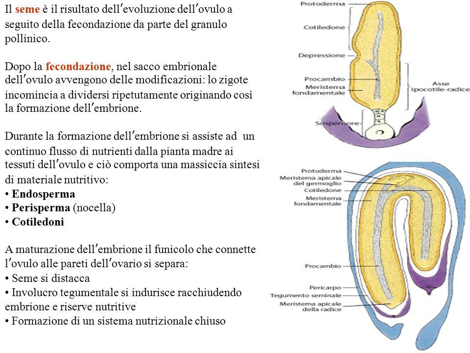 Il seme è il risultato dell'evoluzione dell'ovulo a seguito della fecondazione da parte del granulo pollinico.
