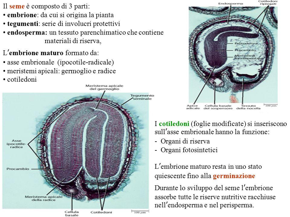Il seme è composto di 3 parti: