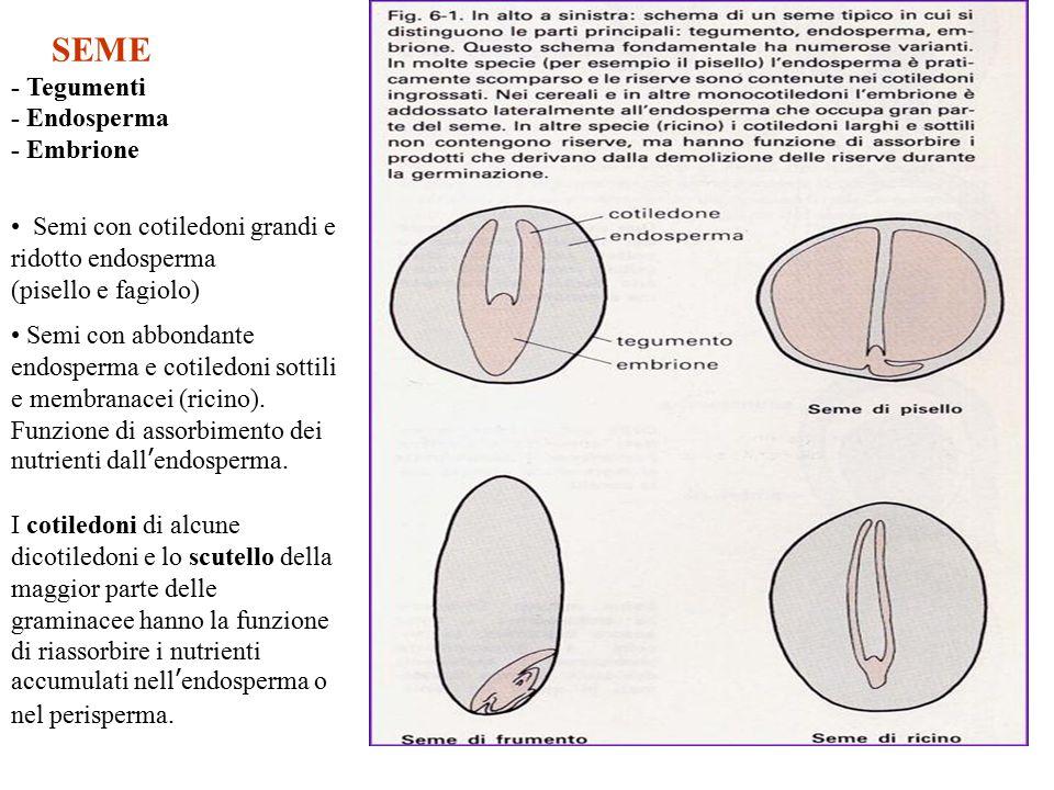 SEME - Tegumenti - Endosperma - Embrione