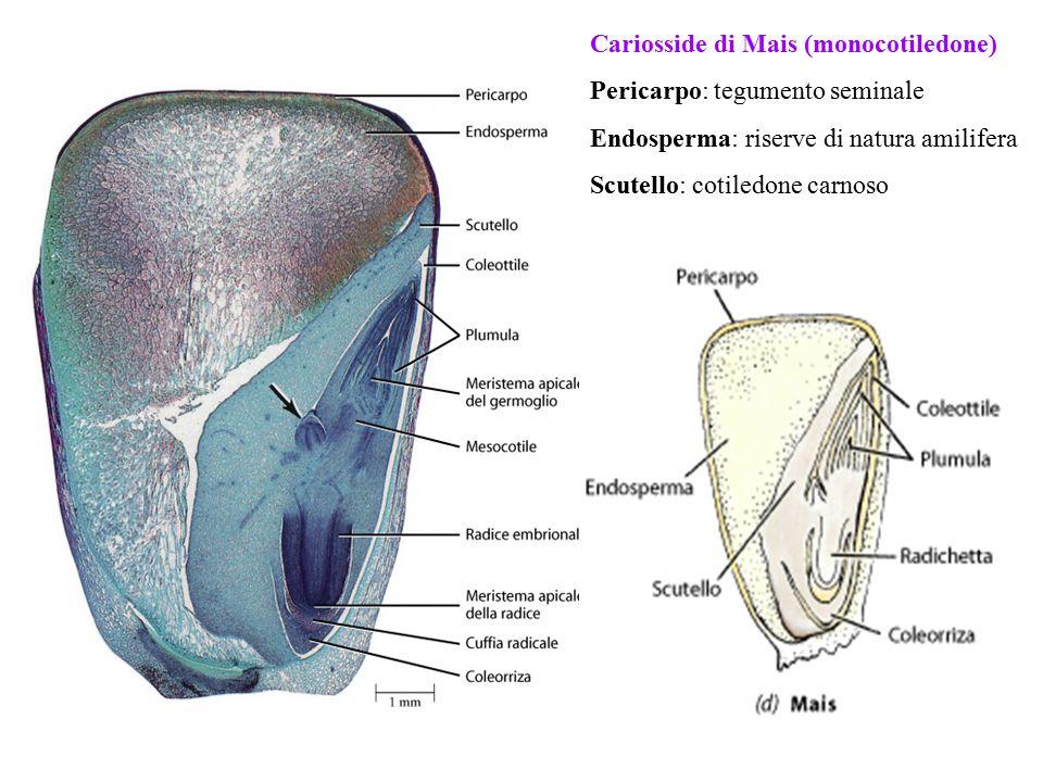 Cariosside di Mais (monocotiledone)