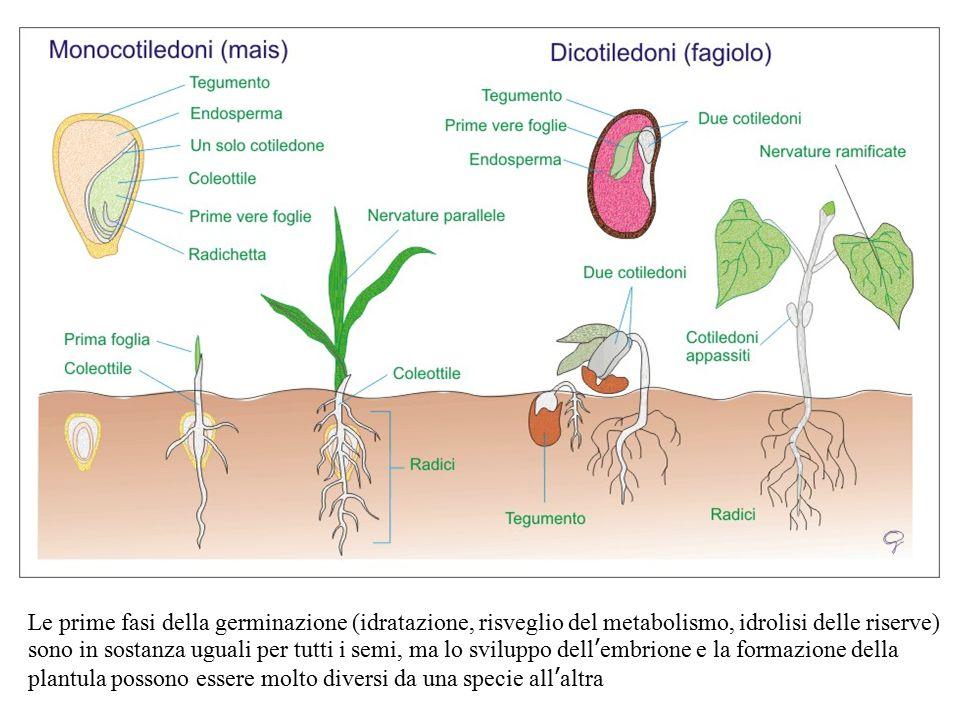 Le prime fasi della germinazione (idratazione, risveglio del metabolismo, idrolisi delle riserve) sono in sostanza uguali per tutti i semi, ma lo sviluppo dell'embrione e la formazione della plantula possono essere molto diversi da una specie all'altra