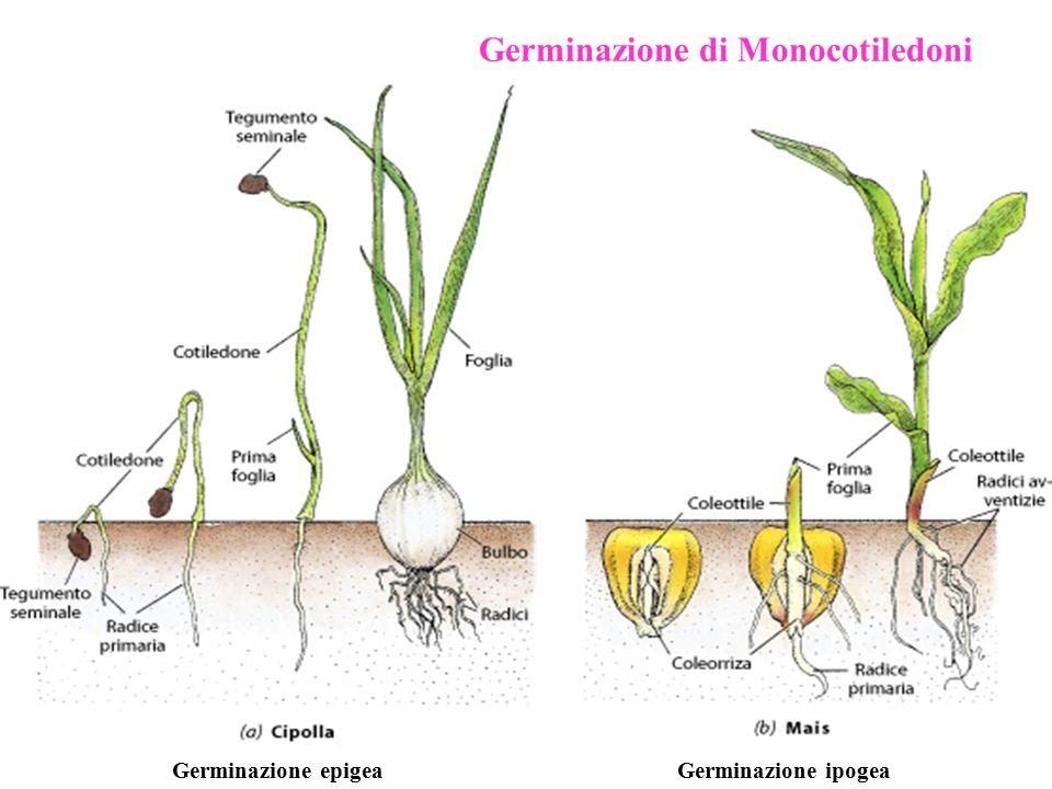 Germinazione di Monocotiledoni