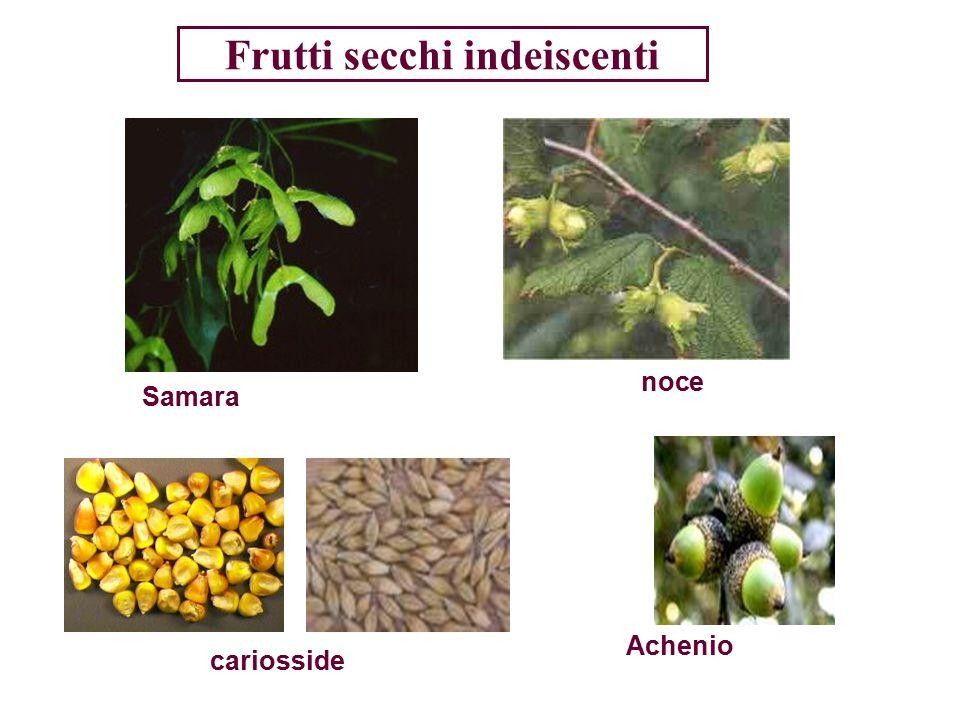 Frutti secchi indeiscenti