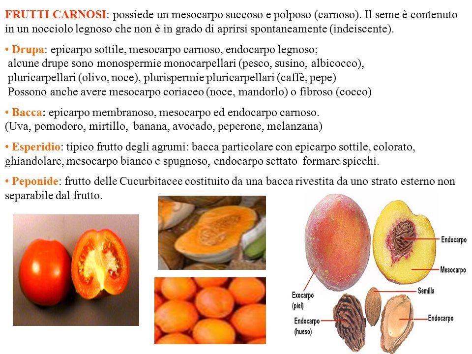 FRUTTI CARNOSI: possiede un mesocarpo succoso e polposo (carnoso)