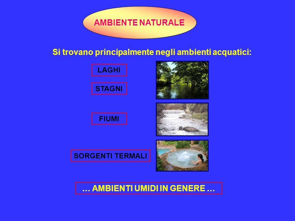 Si trovano principalmente negli ambienti acquatici: