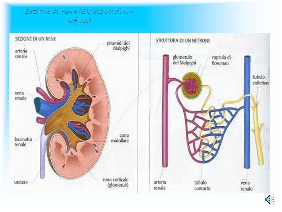 Sezione di Rene/Struttura di un nefrone