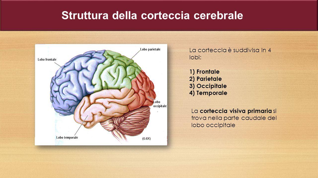 Struttura della corteccia cerebrale