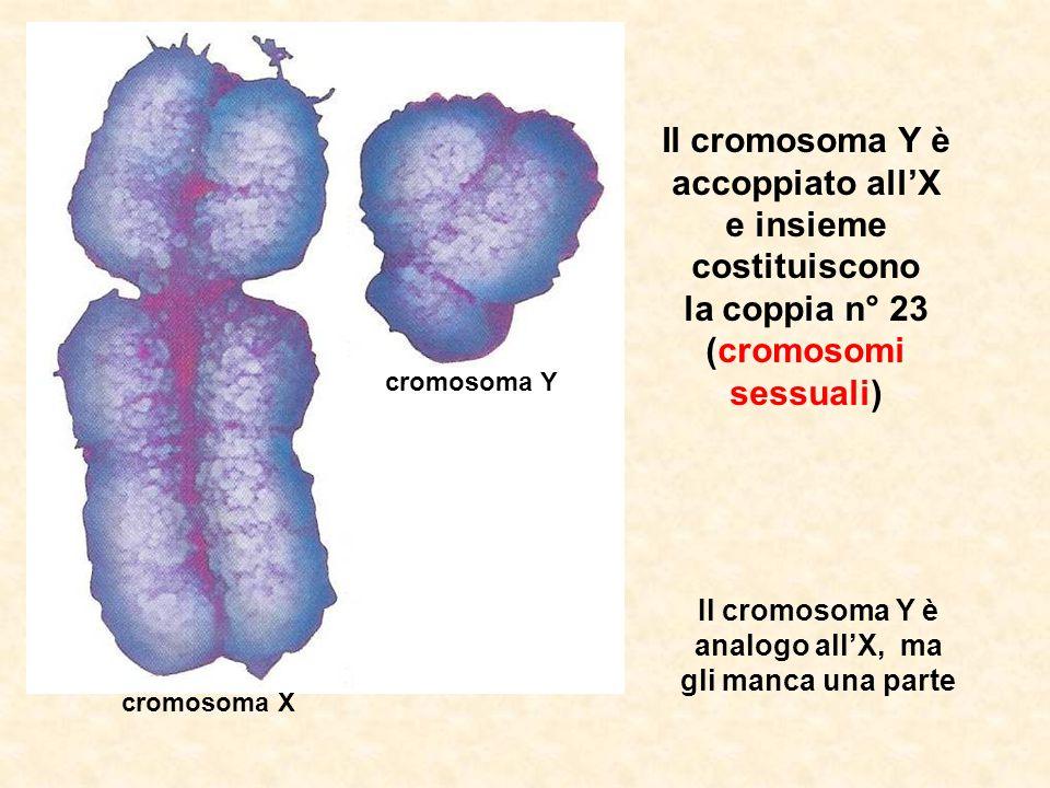 Il cromosoma Y è analogo all'X, ma gli manca una parte