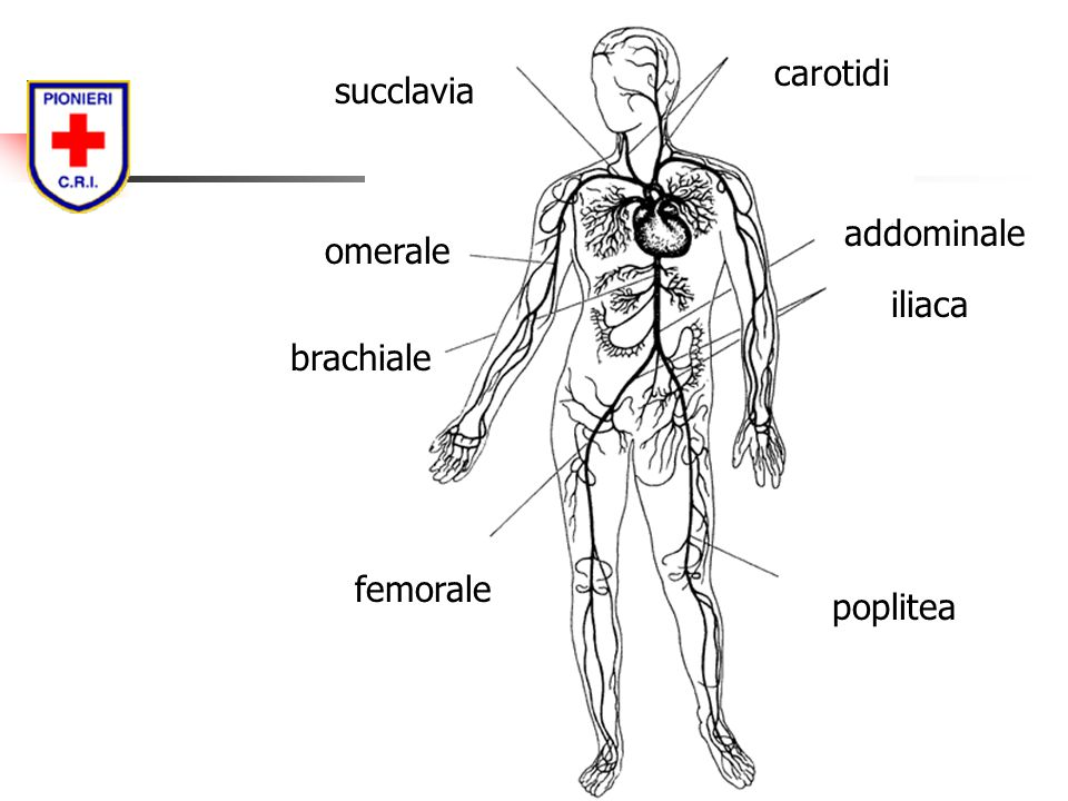 carotidi succlavia addominale omerale iliaca brachiale femorale poplitea