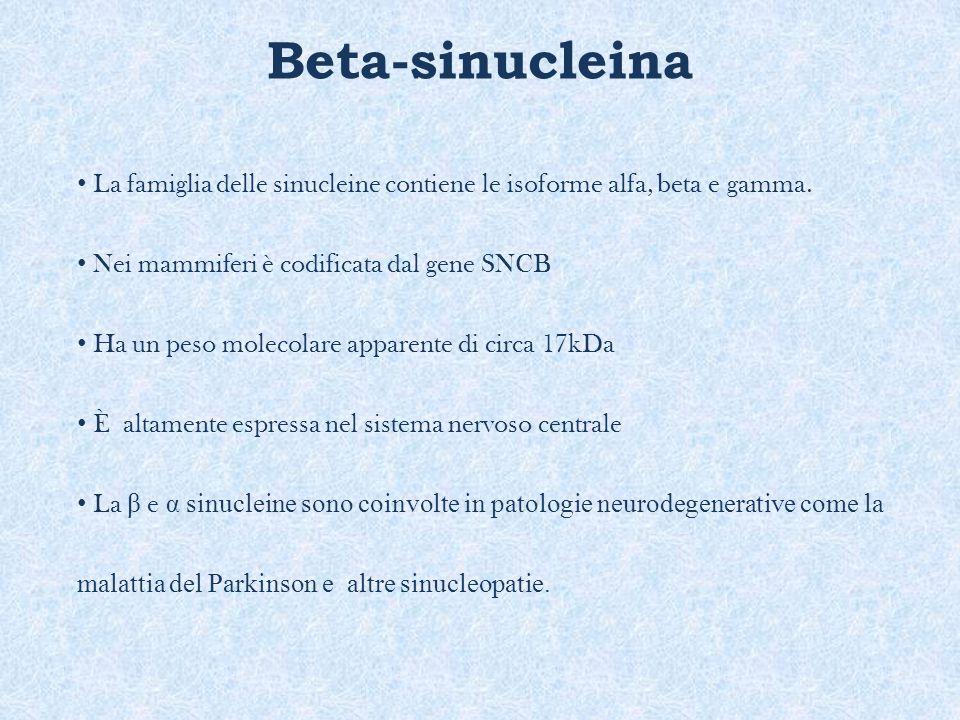 Beta-sinucleina La famiglia delle sinucleine contiene le isoforme alfa, beta e gamma. Nei mammiferi è codificata dal gene SNCB.