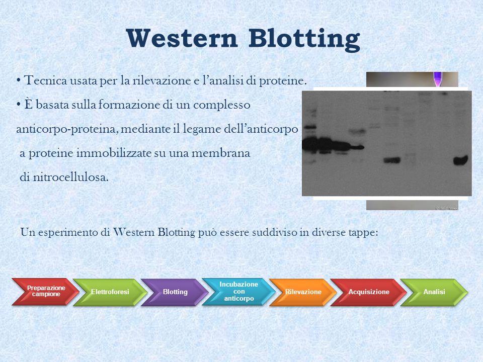 Preparazione campione Incubazione con anticorpo