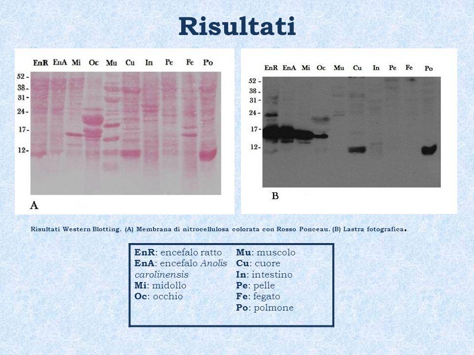 Risultati EnR: encefalo ratto EnA: encefalo Anolis carolinensis