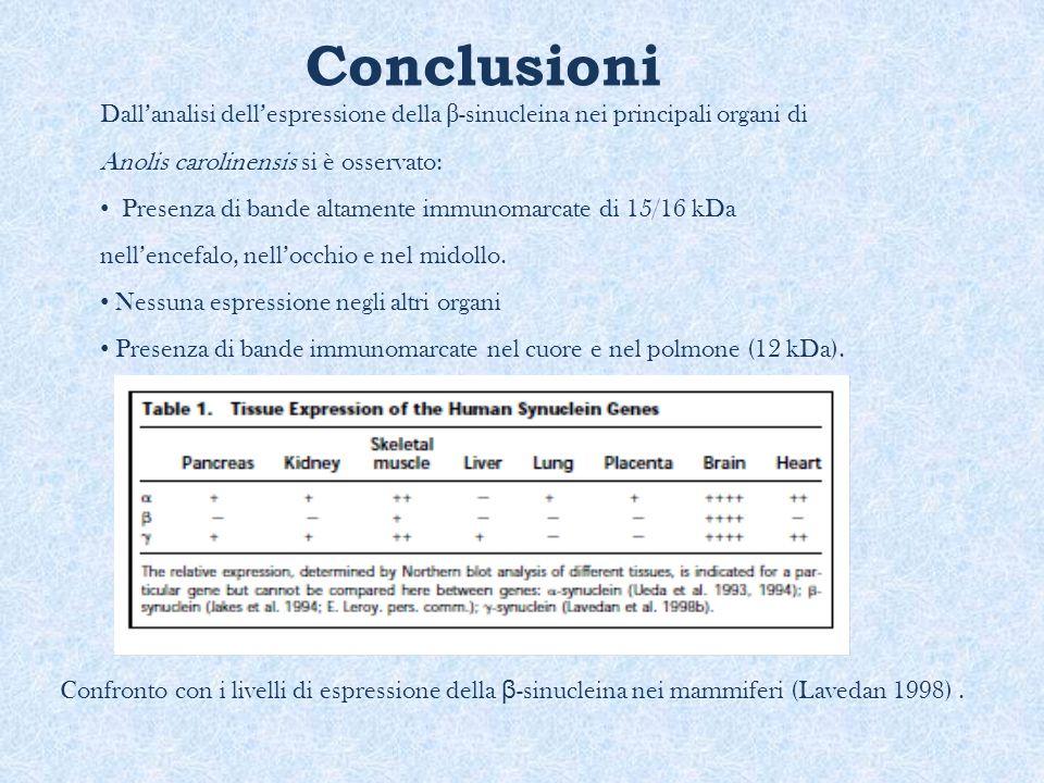 Conclusioni Dall'analisi dell'espressione della β-sinucleina nei principali organi di Anolis carolinensis si è osservato: