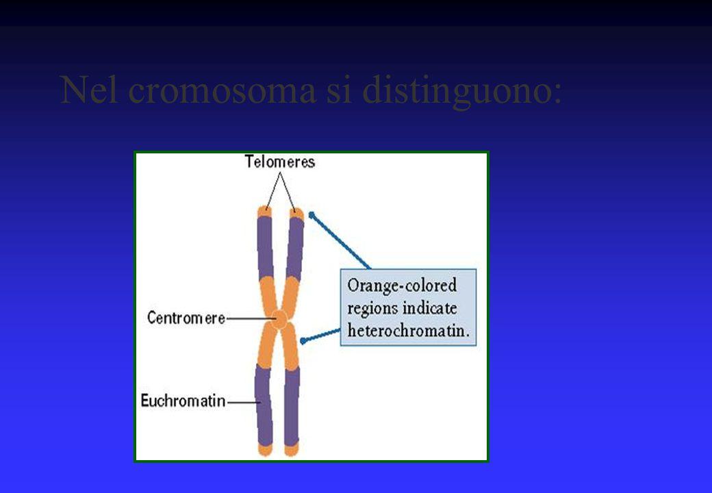 Nel cromosoma si distinguono: