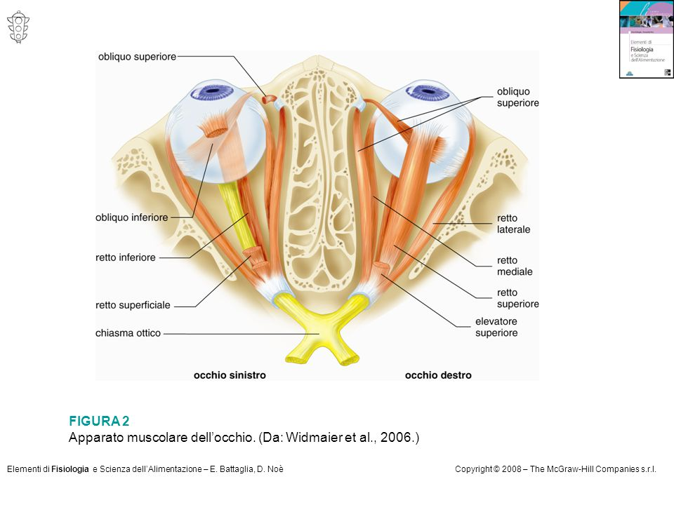 Apparato muscolare dell'occhio. (Da: Widmaier et al., 2006.)