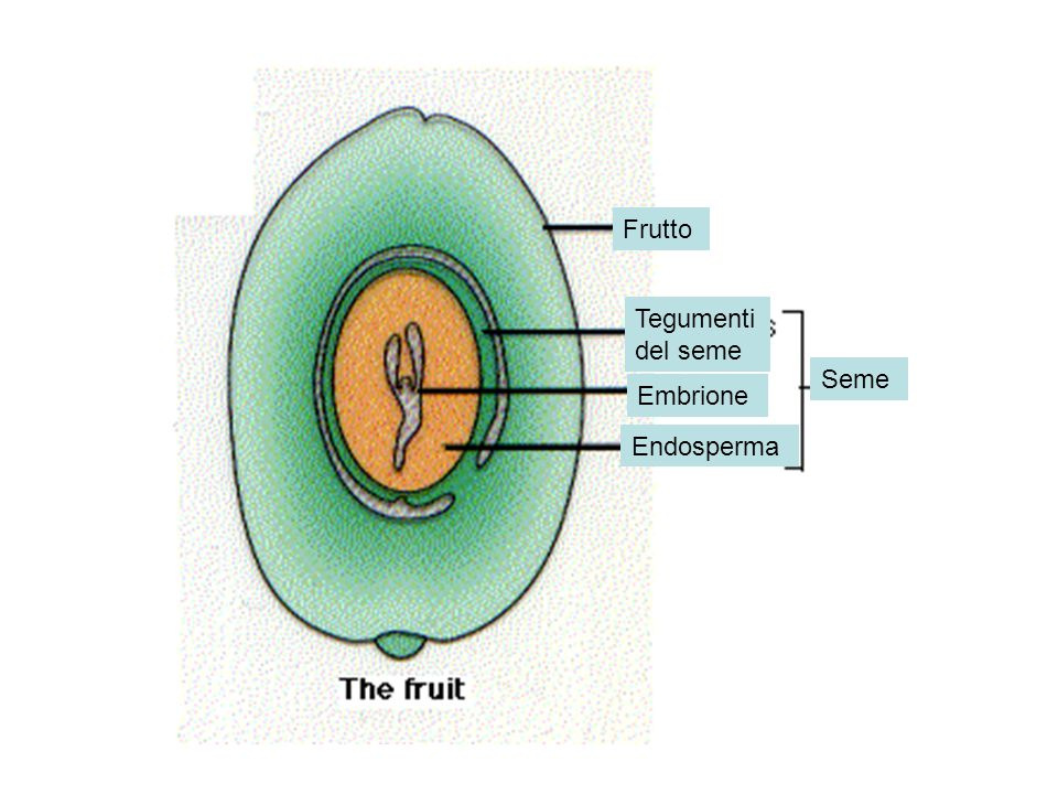 Frutto Tegumenti del seme Seme Embrione Endosperma
