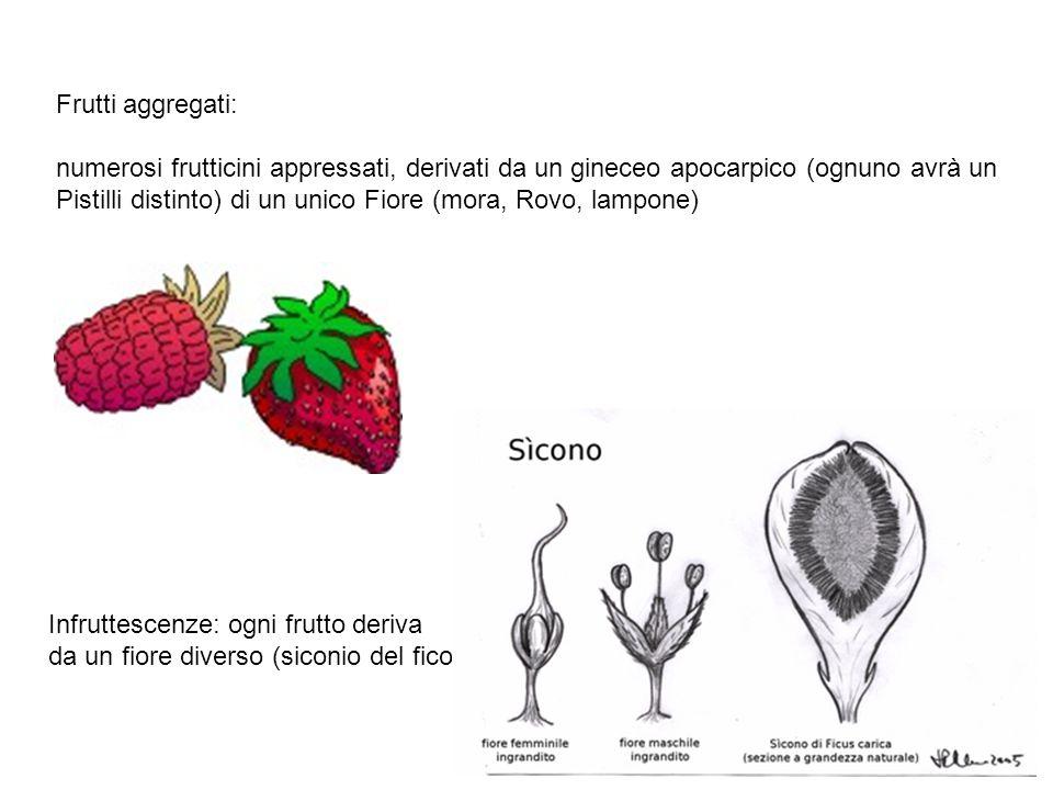 Frutti aggregati: numerosi frutticini appressati, derivati da un gineceo apocarpico (ognuno avrà un.