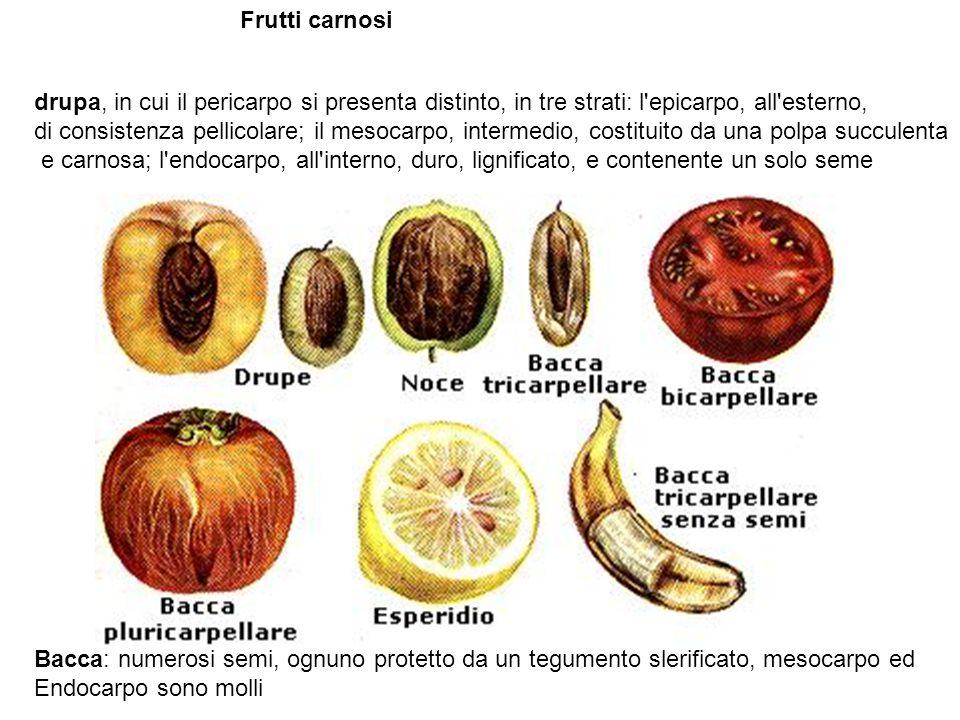 Frutti carnosi drupa, in cui il pericarpo si presenta distinto, in tre strati: l epicarpo, all esterno,