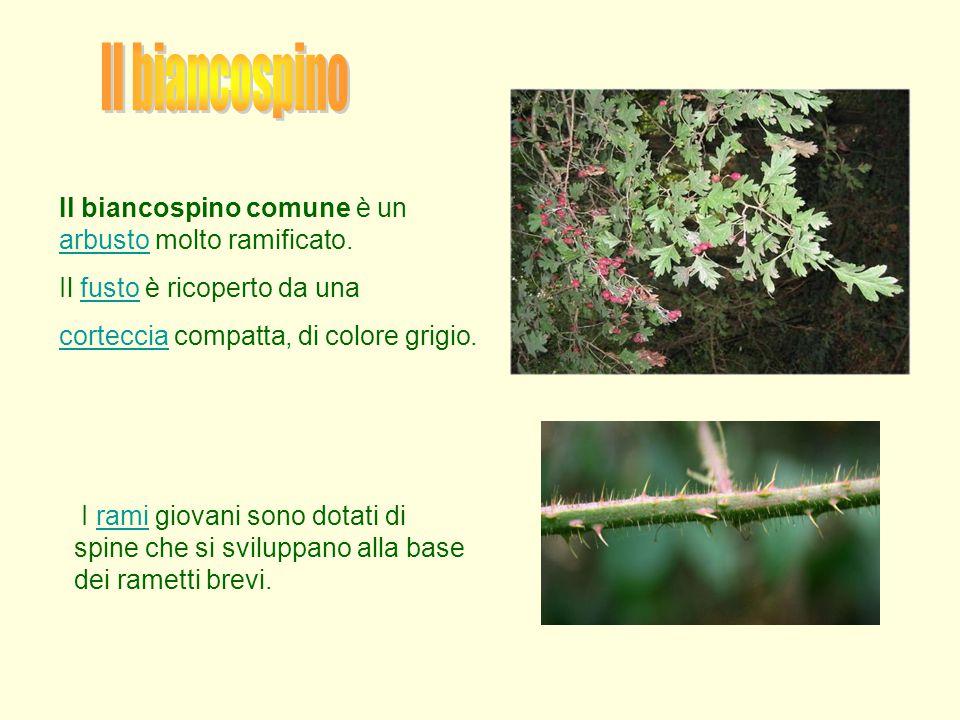 Il biancospino Il biancospino comune è un arbusto molto ramificato.