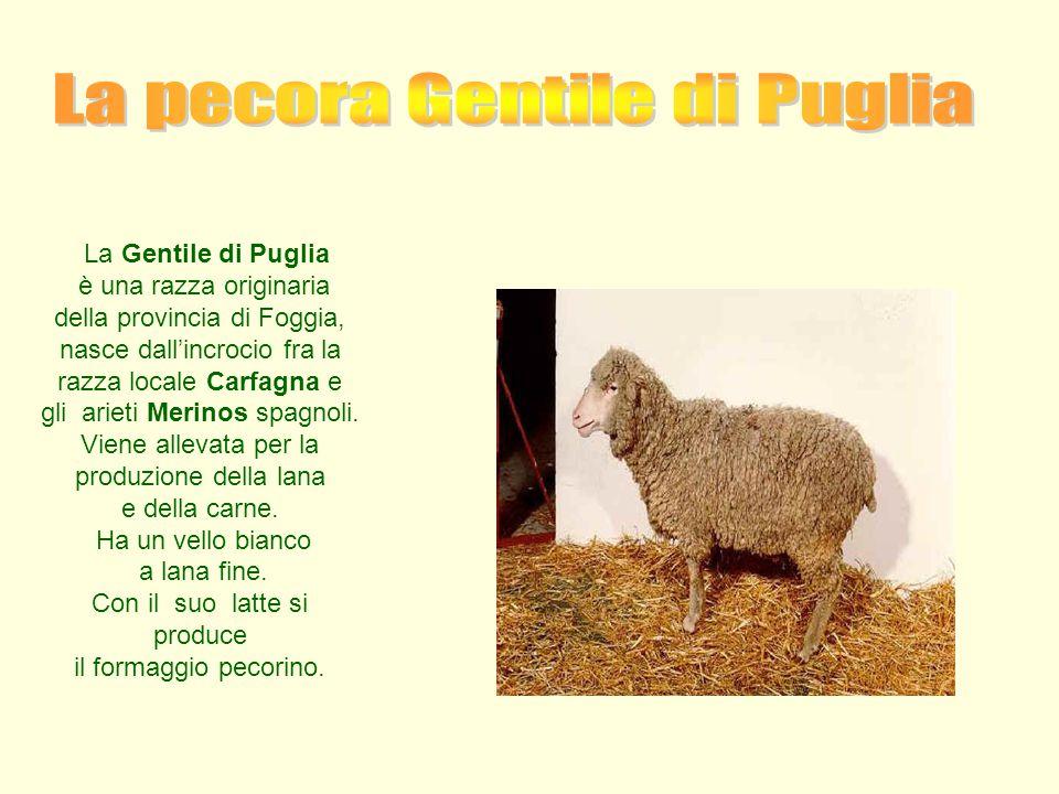 La pecora Gentile di Puglia