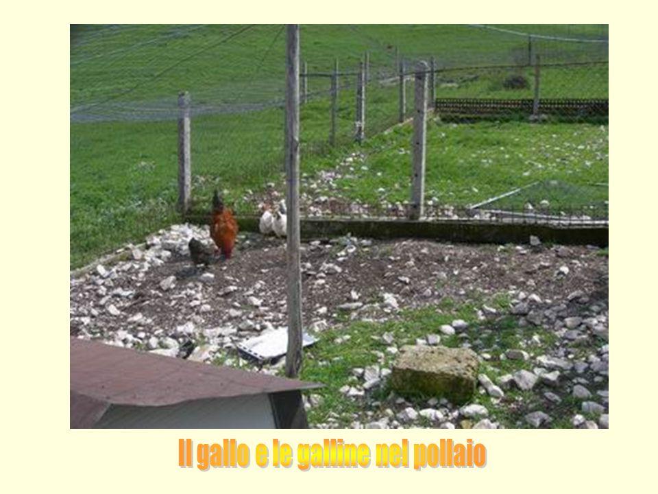 Il gallo e le galline nel pollaio