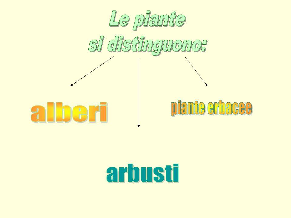 Le piante si distinguono: piante erbacee alberi arbusti
