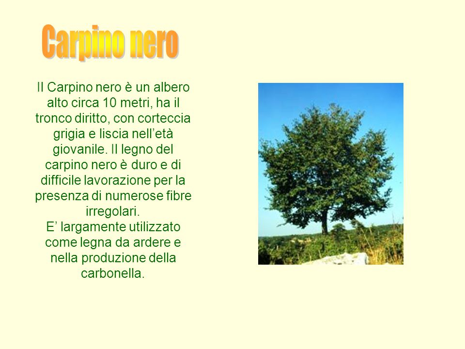 Carpino nero