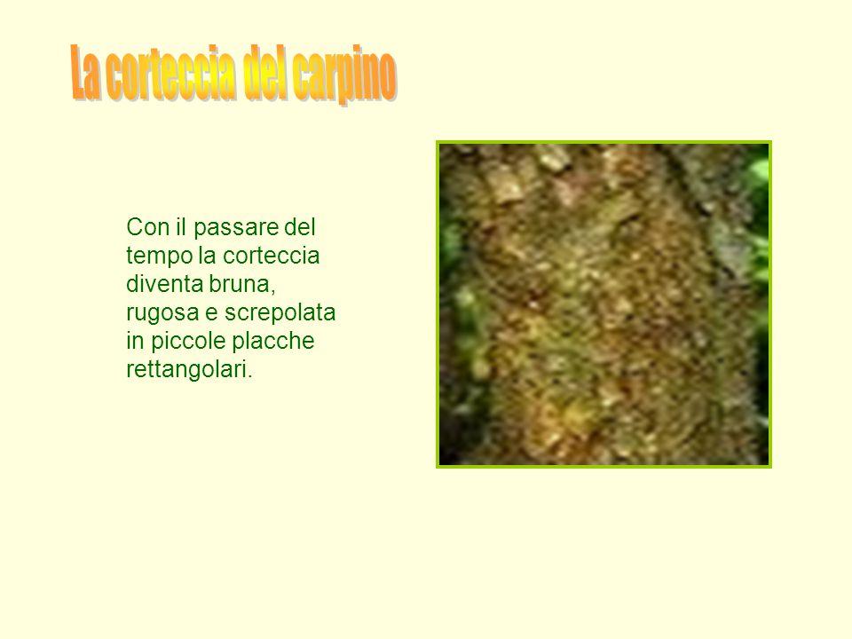 La corteccia del carpino