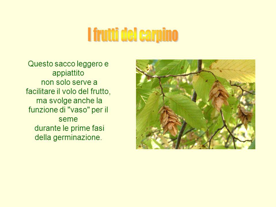 I frutti del carpino Questo sacco leggero e appiattito