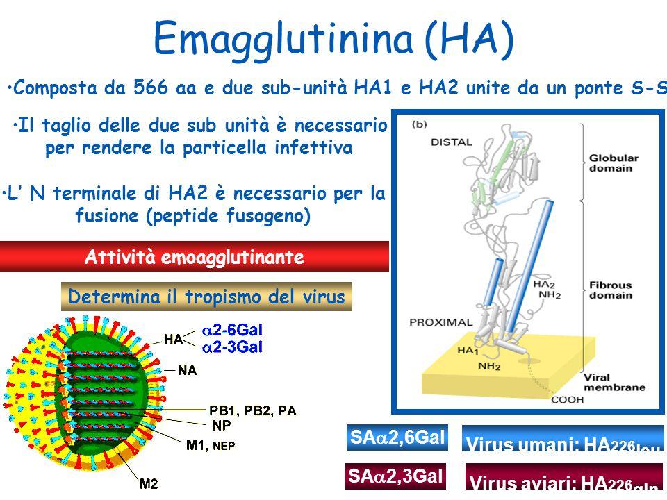 Emagglutinina (HA) Composta da 566 aa e due sub-unità HA1 e HA2 unite da un ponte S-S. Il taglio delle due sub unità è necessario.