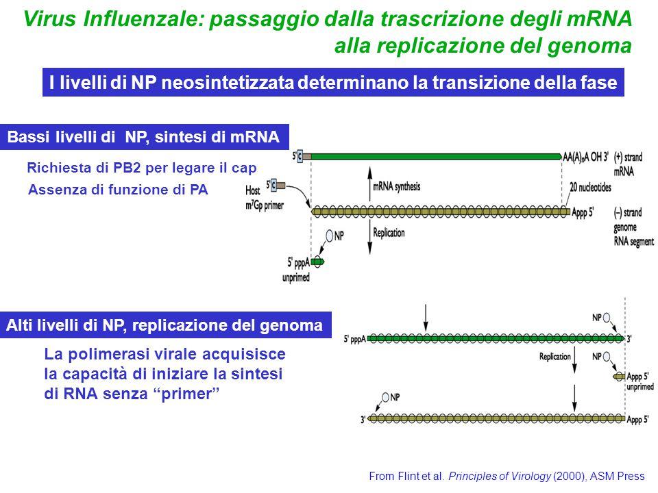 Virus Influenzale: passaggio dalla trascrizione degli mRNA alla replicazione del genoma