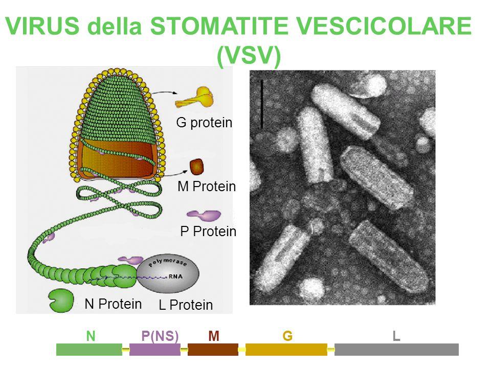 VIRUS della STOMATITE VESCICOLARE (VSV)