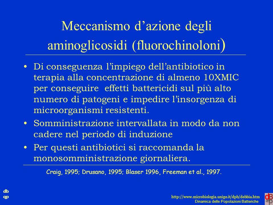 Meccanismo d'azione degli aminoglicosidi (fluorochinoloni)