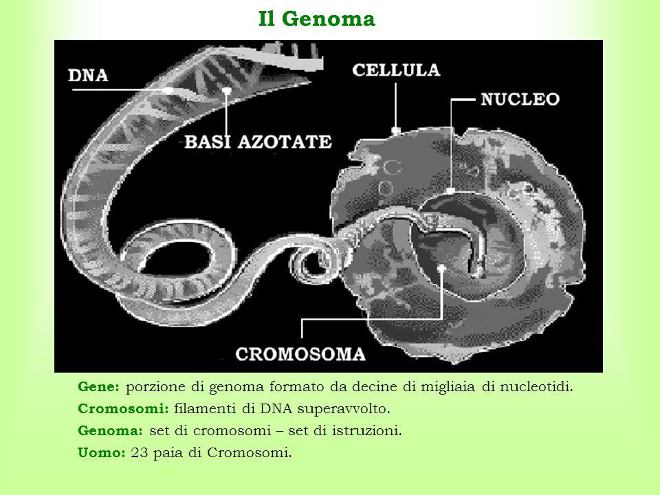 Il Genoma Gene: porzione di genoma formato da decine di migliaia di nucleotidi. Cromosomi: filamenti di DNA superavvolto.