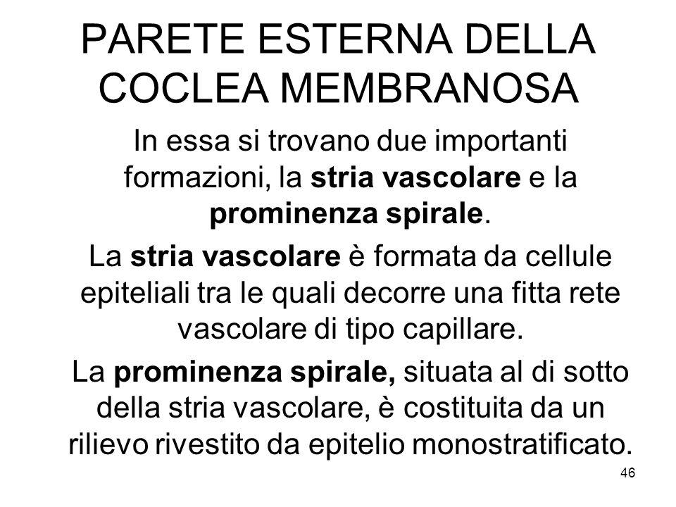 PARETE ESTERNA DELLA COCLEA MEMBRANOSA