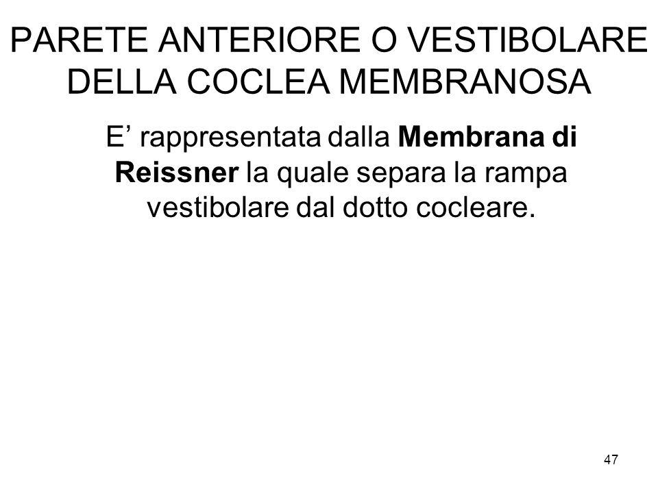 PARETE ANTERIORE O VESTIBOLARE DELLA COCLEA MEMBRANOSA