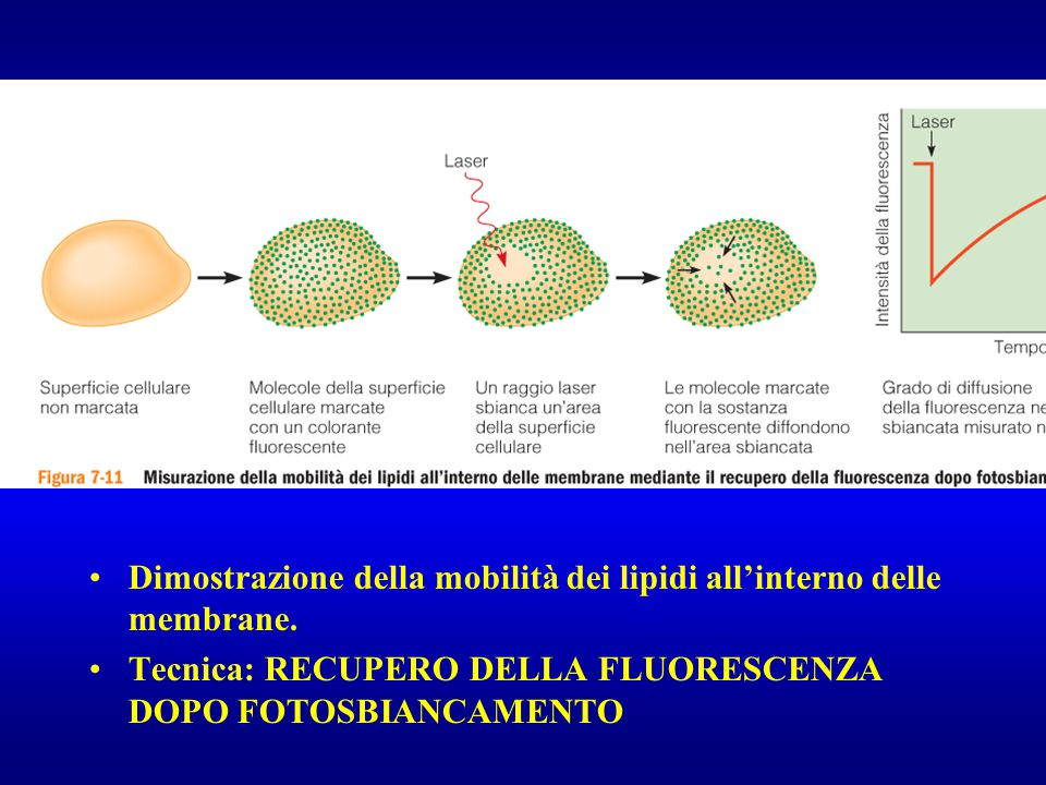 Dimostrazione della mobilità dei lipidi all'interno delle membrane.