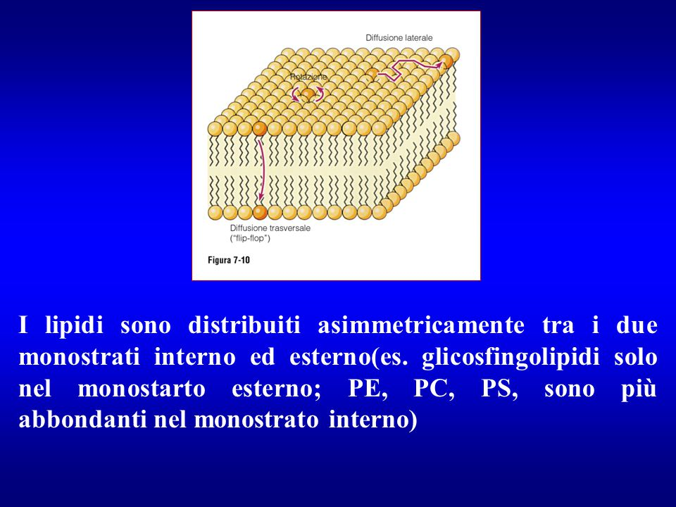 I lipidi sono distribuiti asimmetricamente tra i due monostrati interno ed esterno(es.