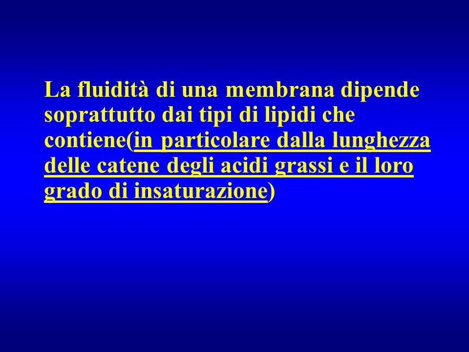 La fluidità di una membrana dipende soprattutto dai tipi di lipidi che contiene(in particolare dalla lunghezza delle catene degli acidi grassi e il loro grado di insaturazione)