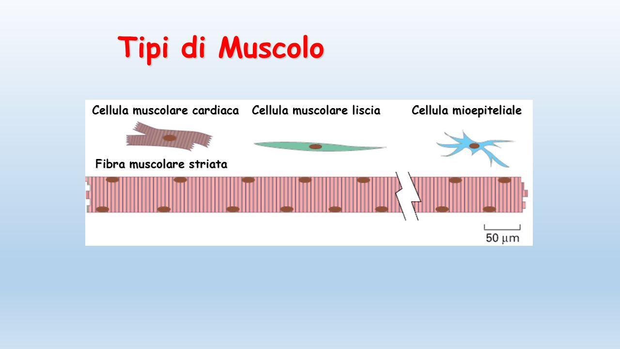 Funzioni delle ossa sostegno del peso corporeo protezione for Quella del tavolo e liscia