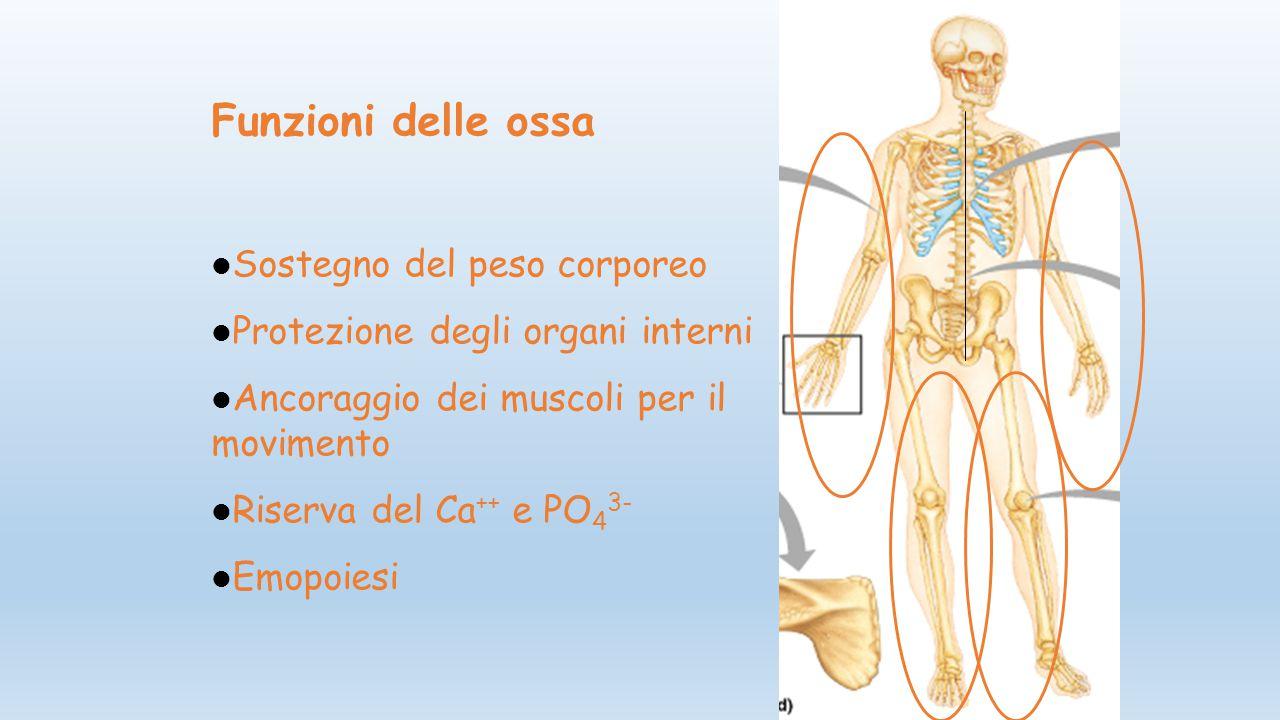 Funzioni delle ossa Sostegno del peso corporeo