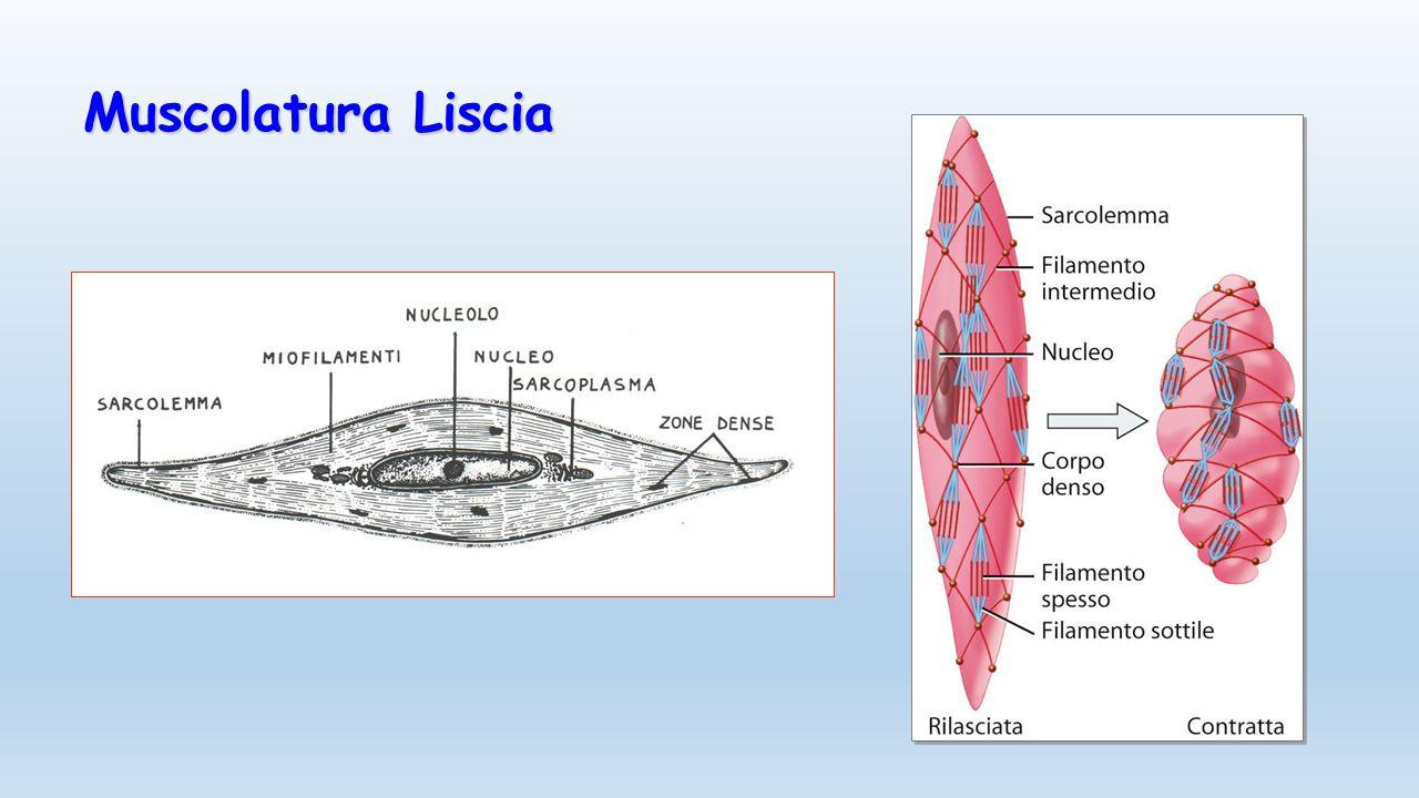 Muscolatura Liscia