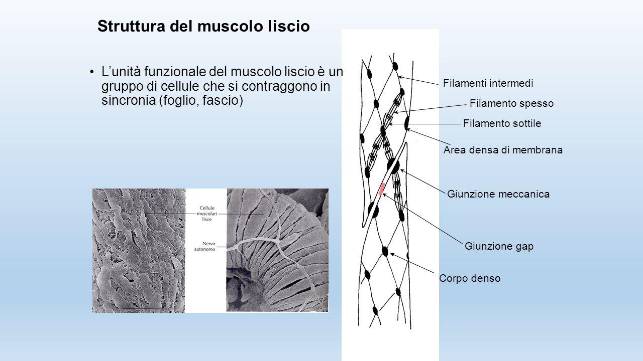 Struttura del muscolo liscio